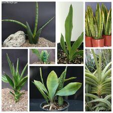 50Pc Sansevieria Herb Seeds Rare 15 Kinds Beautiful Perennial Home Garden Plants