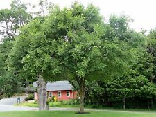 Chinese Elm Tree Seeds (Ulmus parvifolia), 50 seeds