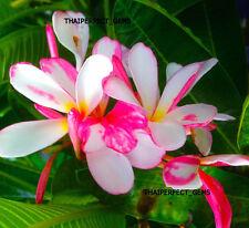 "Plumeria/Plants/Flowers/""Fragrant Srile"" Fresh 50 Seeds"