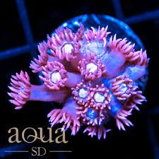 New listing Asd - 095 Pink Ninja Goniopora - Wysiwyg - Aqua Sd Live Coral Frag