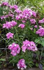 "7 COLD HARDY Dianthus LIVE Lot 2-6""ea mix flower +3 FREE SAMPLE PLANT perennial"