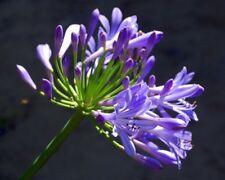 Glen Avon Agapanthus Plants - 3 Years old