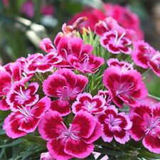 250x Mixed Sweet WILLIAM Dianthus Flower Seeds Flower Plant Seeds HomeGarden Pop