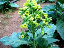 1000 Graines de tabac Nicotiana Rustica MAPACHO Aztec Tobacco seeds