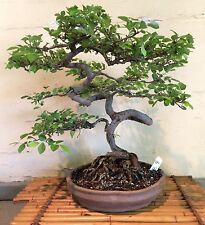 Bonsai Tree Chinese Elm 17 Years Training From A Root Cutting Signed Container