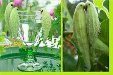 20x Papageienpflanze Asclepias syriaca Blumen Samen Pflanze Rarität Garten #258
