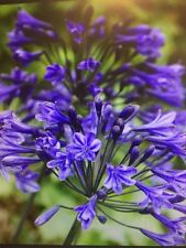 20+ seeds Blue African Lily Of The Nile Agapanthus Flower Seeds * Perennial