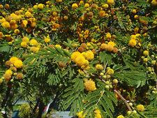 Acacia farnesiana (10 graines)