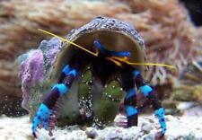 Electric Blue Hermit Crab - (Calcinus elegance) Green Hair Alagae  Cynobacteria