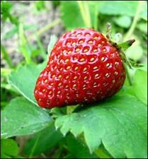 "Strawberry Plants - Allstar - 3"" Deep Pot - 4 Live Plants"