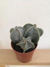 ASTROPHYTUM MYRIOSTIGMA Cabezas Multiples Cactus Vivo 5,5 cm pot Cacti Kakteen