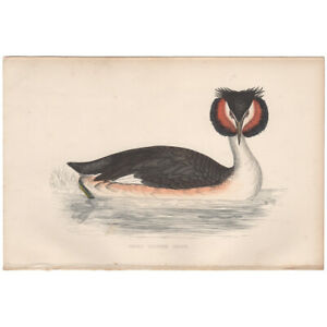 Morris Birds antique 1863 hand-colored engraving print 299 Great Crested Grebe