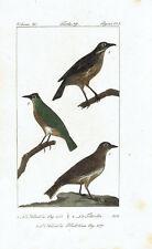 ALLODOLA SKYLARK WOODLARK- Incisione 1800 Buffon Uccelli Ornitologia Hornitology