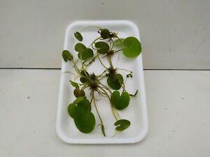 Froschbiss hydrocharis morsus ranae 5 Stk. Schwimmpflanzen Aquarium Teich