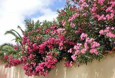 Oleander Flower - NERIUM OLEANDER - 15 Seeds - Flowers
