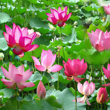10PCS Water Lotus Flower Plant Bowl Pond Bonsai Seeds for Home Garden Decor