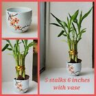 5 Lucky Bamboo 6 inches with Vase, Gift, Feng Shui. Perennial, Arrangement