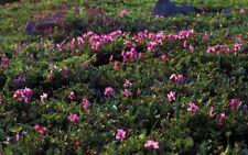 Redovsky's rhododendron (Rhododendron redowskianum) 30 seeds