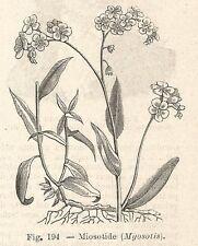B1429 Myosotis - Incisione antica del 1928 - Engraving