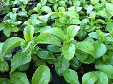 "HERB - STEVIA - NATURAL NO CALARIE SWEETENER -  1 PLANT- 2"" POT"