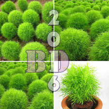 GRASS BURNING BUSH - Kochia Scoparia 360 Seeds of Cypress summer - Orig.Pack_146