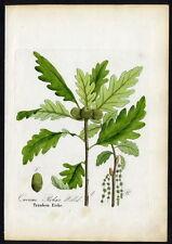 1860 Dietrich-forstpflanzen uvas-roble – Quercus robur #37
