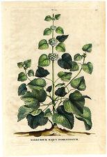 Antique Print-PL 214-BALLOTA NIGRA-BLACK HOREHOUND-MARRUBIUM-Munting-1696
