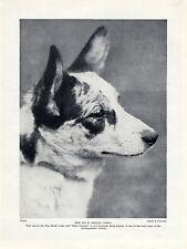 WELSH CARDIGAN CORGI HEAD STUDY OLD ORIGINAL DOG PRINT PAGE FROM 1934