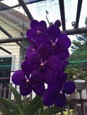 RON. Vanda Orchid. Premium clone - V. Pachara Delight 'Blue' (8560)