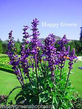MEALYCUP SAGE - Salvia Farinacea - 140 SEEDS - Beautiful perennial flower