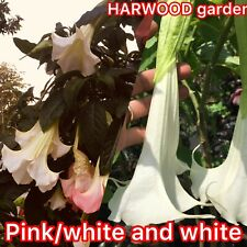 Angel Trumpet Giant White Brugmansia Supernova And Pink / White . 4 Cuttings