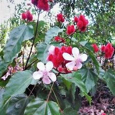 LIPSTICK TREE SEEDS BIXA ORELLANA FLOWERING SHRUB SMALL TREE HARDY