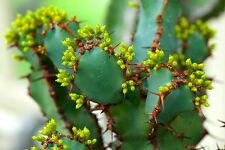 10 Euphorbia coerulescens SEEDS SEEDS succulent plant rare no caudex stapelia