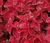 COLEUS WIZARD VELVET RED Solenostemon Scutellarioides - 40 Bulk Seeds