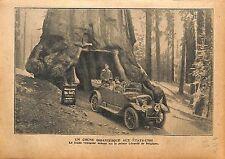 Prince Léopold de Belgique chêne Quercus virginiana California 1920 ILLUSTRATION