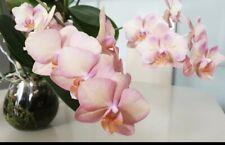 Large Phalaenopsis Orchid Legato Huge Plant