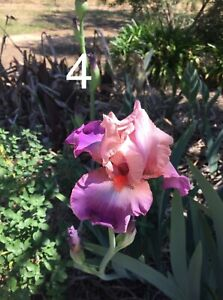 Bearded Iris - Tall. Our No. 4 Soft purple-pink/striking orange beard.