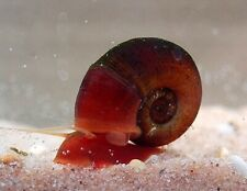 5 Pearlescent Pink & 5 Red Ramshorn Snails Aquarium Cleaners