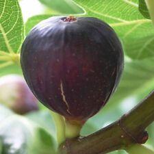 ☆Fig Tree☆BROWN TURKEY☆Finest 10- Seeds☆Best For Jam & Conserve☆UKSeller☆