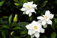 Cape Jasmine  ( Gardenia jasminoides) 50 Seed