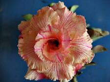 """ADENIUM OBESUM DESERT ROSE """"SIAM VANILLA"""" X 2 PLANT(GRAFTED) FRESH"""