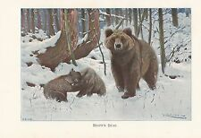 c1914 NATURAL HISTORY PRINT ~ BROWN BEAR WITH CUBS ~ LYDEKKER