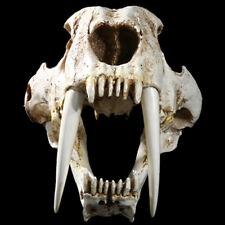 "13"" Saber-toothed Tiger Skull Smilodon Animal Model Prop Decor Collector Gift"