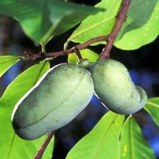 Paw Paw Fruit Tree (1-2')