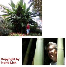 Samen-Spar-Set - zwei winterharte Sorten für den Garten: toller Bambus + Banane