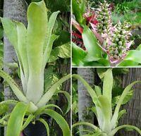 BROMELIAD Aechmea CASTELNAVII Stunning Specie! Rare Find! Grown From Seed!!