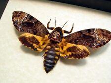 Acherontia Lachesis Female Silence of The Lambs Death Head Moth 8112F