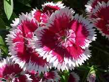 sweet william, Biennial/Perennial, 1333 seeds! GroCo