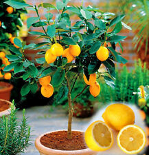 20PCS/BAG Edible Fruit Meyer Lemon Seeds, Exotic Citrus Bonsai Lemon Tree Fresh