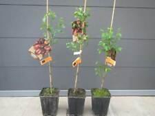 Ziziphus jujuba 'Lang'- lange chinesische Dattel - winterharte Pflanze 80-100cm